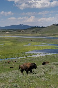Bison graze in Yellowstone National Park, Wyoming