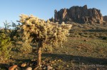 Cholla cactus in the Superstition Wilderness