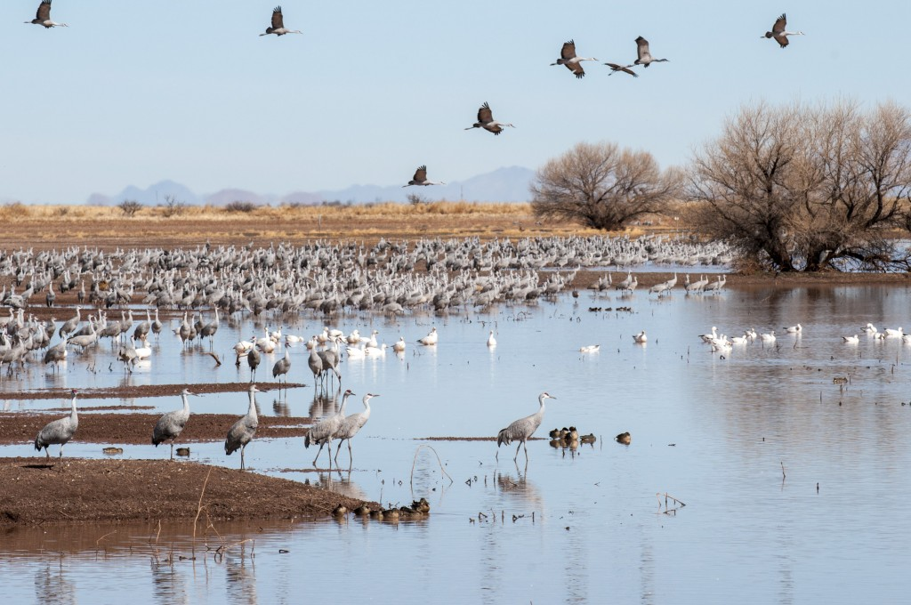 Sandhill Cranes and Snow Geese at Whitewater Draw, Mc Neal, Arizona