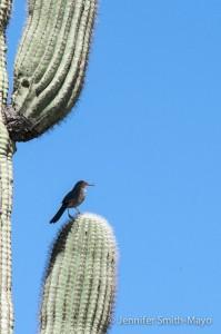 A Curve-bill Thrasher on a Saguaro cactus