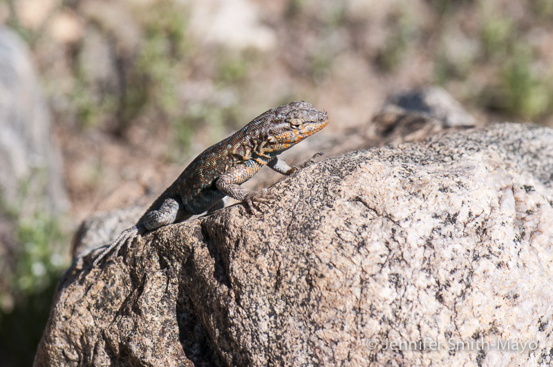 Side-blotched lizard, White Tank Mountain Regional Park, Waddell, Arizona