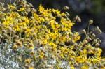 Brittlebush with yellow daisy-like flowers