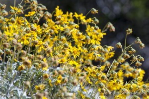 Brittlebush with yellow daisy-like flowers