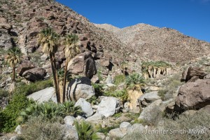 Native palm oasis, Anza Borrego Desert State Park, California