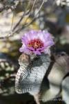 Flowering Beavertail cactus, Anza Borrego Desert State Park, California