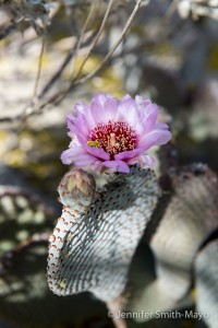 Flowering Beavertail cactus, Anza Borrego Desert State Park, California