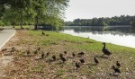 A mother duck wrangles her herd of ducklings at Sesquicentennial State Park, Columbia, South Carolina