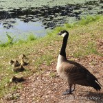 A mother goose watches over her sleepy goslings at Sesquicentennial State Park, Columbia, South Carolina
