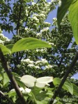 Dogwood in bloom at a West Virginia rest area
