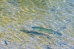 A trout cruises along the shoreline at Locust Lake State Park, Barnesville, Pennsylvania