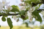 A bumblebee slowly wakes as sunlight shines on apple blossoms, Irasburg, Vermont