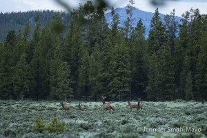 Elk herd near our campsite, Bighorn National Forest, Wyoming