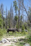 Moose at the Visitor's Center, Rocky Mountain National Park, Colorado