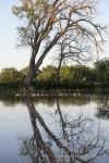 Canada geese and their fledglings swim on Big Creek in Ellis, Kansas
