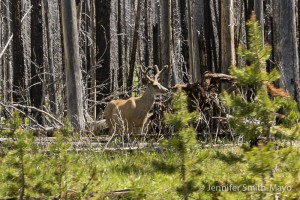White-tailed buck in the forest, Yellowstone National Park, Wyoming