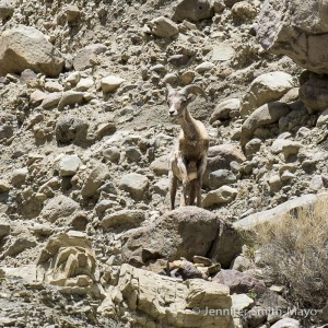 Bighorn sheep blends into the rocks, Yellowstone National Park, Wyoming