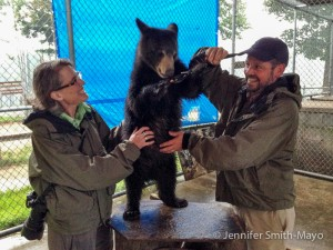 Team Gritty feeds a female black bear cub, Kendra, Fruit Loops at Oswald's Bear Ranch, Newberry, Michigan